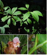 Costus erythrophyllus 'Silver Leaf' cultivar registry photo - Click to see full sized image