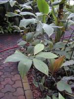 Costus erythrophyllus 'Silver Leaf' from Atlanta Botanical Gardens - Click to see full sized image