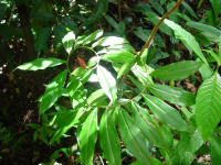 Costus aff. scaber, Costa Rica, Osa Peninsula, trail along road to Drake - Click to see full sized image
