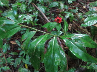 Costus aff. scaber, Costa Rica, Osa Peninsula, Los Planes area - Click to see full sized image