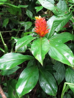 Costus curvibracteatus at Socorro - Click to see full sized image