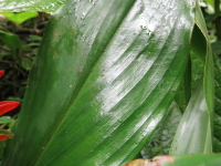 Costus curvibracteatus at Socorro - plicate leaves - Click to see full sized image