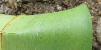 Costus 'Marco's Pride' form, lower leaf surface - Click to see full sized image