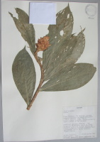 Costus sp. - collected 1985 by David Neill in Prov. Pastaza, Rio Curaray, not identified - National Herbarium, Quito #026236 - Click to see full sized image