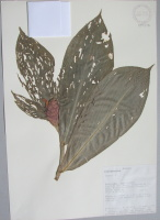 Costus sp. - Collected 1993 by Aida Alvarez et al in Esmeraldas Prov., Playa de Oro - National Herbarium, Quito #097476 - Click to see full sized image