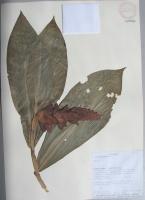 Costus sp. - Collected 1994 by Milton Tirado J. Clark et al in Esmeraldas Prov. Eloy Alfaro, Reserva Ecologica Cotacachi Cayapas, Rio Santiago - National Herbarium, Quito #109984 - Click to see full sized image