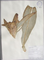 Costus sp. - Collected 1997 by John Clark et al in Manabi Prov., Pedernales Canton, Reserva Ecologica Mache0Chindul, Cumumidad Ambacha - National Herbarium, Quito #129561 - Click to see full sized image