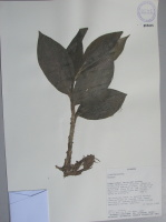 Costus sp. - Collected 1998 by John Clark et al in Esmeraldas, Bilsa Biological Station (note: this is the same plant with plicate leaves and purple undersides of immature plants seen in 2007) - National Herbarium, Quito #159405 - Click to see full sized image