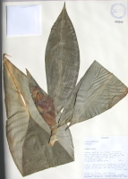Costus sp. - Collected 2000 by Thomas Croat et al in Esmeraldas Prov. along road to Rio Tulubi from main San Lorenzo-Lita Hwy - National Herbarium, Quito #162282 - Click to see full sized image