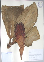 Costus sp. - Collected 2003 by John Clark et al in Napa Prov., Archidon Canton, 900-970 m, separate inflo. stem, Photos with David Neill and John Clark - National Herbarium, Quito #175463 - Click to see full sized image