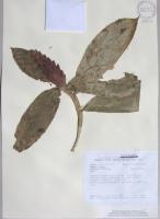Costus sp. - Collected 2003 by P. Silverstone et al in Cotopaxi Prov., La Mana Canton, Reserva Ecologica Los Ilinizas, Cerro Tilipulo - National Herbarium, Quito #200621 - Click to see full sized image