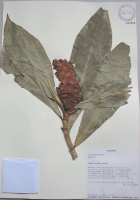 Costus sp. - Collected 2004 by Thomas Croat in Zamora-Chinchipe along road from Zamora to Janiero, Q. Janiero, 1 km S of bridge over Rio Zamora in Zamora - National Herbarium, Quito #197913 - Click to see full sized image