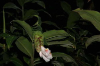 Costus aff. 'El Gato' - photo from Peru, Andes to Amazon Project - Click to see full sized image
