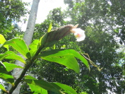 Costus aff. 'El Gato'  from Manu Learning Center, Peru - Click to see full sized image