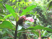 Costus aff. 'El Gato'  from Manu Learning Center, Peru. Pink flowering plant. - Click to see full sized image