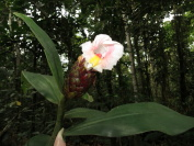 Costus aff. 'El Gato'  - Manu plant from Pantiacolla with flower mostly white - Click to see full sized image