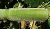 very dense soft hairs on stems - Click to see full sized image