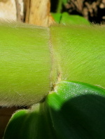 very short to absent ligule and petiole - Click to see full sized image