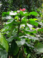 Costus guanaiensis all red flowers, from Manu Learning Center, Peru - Click to see full sized image