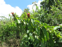 Costus scaber 'Twister' form at Chinchao - Click to see full sized image