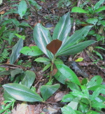 Costus aff. 'El Whiskey' -  various forms found at Pantiacolla - Click to see full sized image