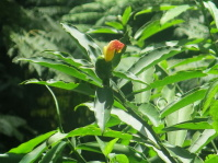 Costus pictus normal form at Finca Irlanda - Click to see full sized image