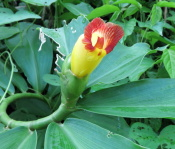 Costus pictus along Monte Cristo Road - Click to see full sized image