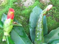 Costus pictus 'San Francisco Red' from Monte Cristo. Older inflo at the right. - Click to see full sized image