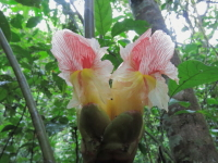 Costus guanaiensis basal flowering at Parque Nacional Tingo Maria, Catarata Gloriapata trail - Click to see full sized image