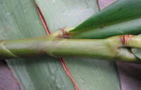 Costus sp. aff. laevis - LYON #80-0702 - Click to see full sized image