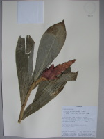 Costus pulverulentus - Collected 1992 by Carlos Aulestia et al in Esmeraldas, San Lorenzo Canton, Parroquia Mataje, Reserva Etnica Awa, det'd by Maas in 1997 -  National Herbarium, Quito #071853 - Click to see full sized image