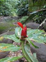 Costus pulverulentus - Ecuador, Reserva Bilsa - Click to see full sized image