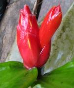 Costus pulverulentus - Ecuador, Reserva Rio Guaycuyacu - Click to see full sized image