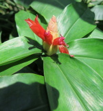 Costus pulverulentus white bracts at Sitio Burle Marx, Brazil - Click to see full sized image