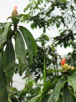 Costus aff. spiralis along road to Clorinda Matto de Turner - Click to see full sized image