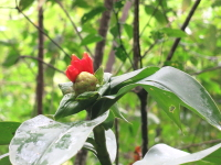 Costus aff. spiralis at Parque Nacional Tingo Maria, Catarata Gloriapata trail - Click to see full sized image
