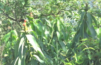 Costus aff. spiralis, along road above Hauchipa - Click to see full sized image