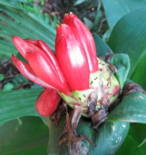 Costus aff. spiralis along road to Casaria Ricardo Palma - Click to see full sized image