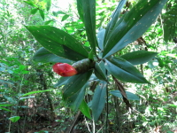 Costus laevis - Hacienda Baru - Click to see full sized image