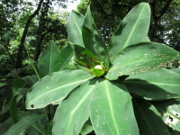 Costus laevis (maximus form) at CATIE near Turrilaba, Costa Rica - Click to see full sized image