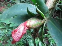 Costus leavis at Parque Nacional la Cangreja, Costa Rica - Click to see full sized image