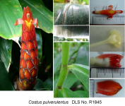 Costus pulverulentus villose form - Click to see full sized image