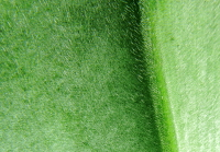 Costus guanaiensis var. guanaiensis -  received from Bryan Brunner, leaf hairs lower side - Click to see full sized image