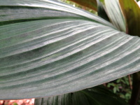 Costus erythrophyllus 'Silver Leaf' - Click to see full sized image