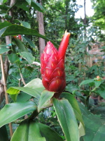 Costus scaber Cerro Nara - Click to see full sized image