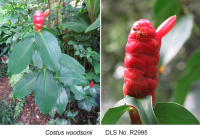 Costus woodsonii tall form cultivated plant - Click to see full sized image