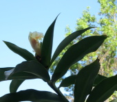 Costus 'Lemon Chiffon' - Click to see full sized image