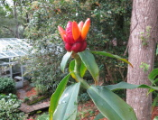 Costus 'Peruvian Pineapple' - Click to see full sized image