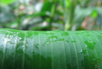 Costus spicatus, upper leaf - does not have line of stirgulose hairs - Click to see full sized image