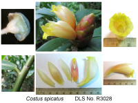 Costus spicatus - Click to see full sized image